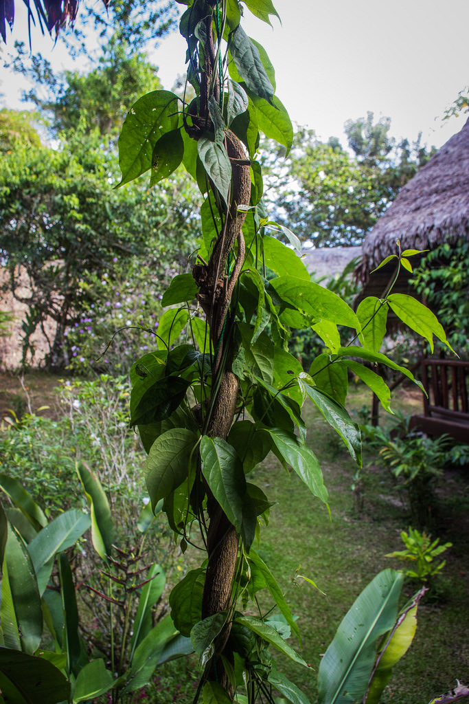 Flickr Ayahuasca Vine